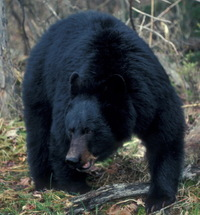 Black_bear_adult