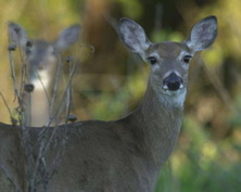 White_tailed_deer2