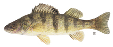 Yellow_perch