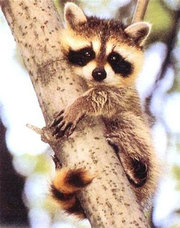 Babyraccoon