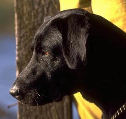 Lab Retains Top Dog Title Outdoor Life