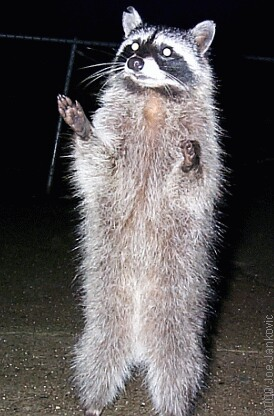 Image result for raccoon on hind legs