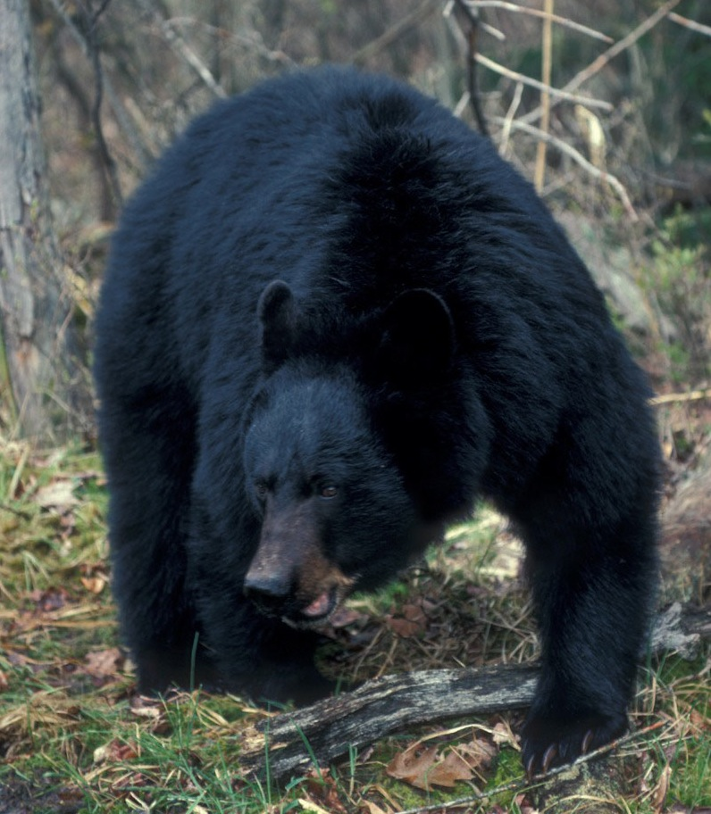 Big Bruin Serves as Prison Security | Outdoor Life
