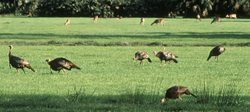 Sz_postturkeysdeer_nwtf_photo