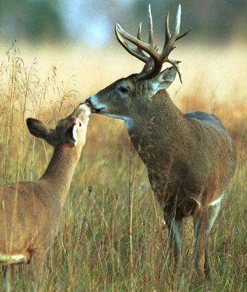Pgc_courtesy_photowhitetail